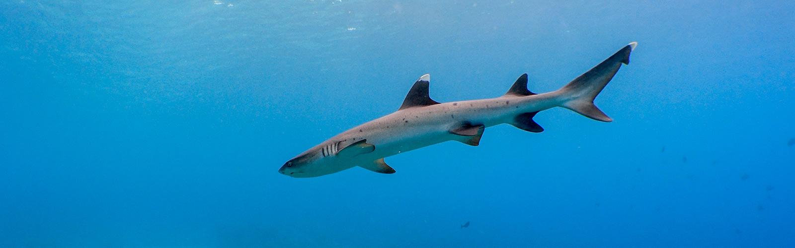 Maldives shark diving